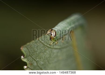 Sawfly larva feeding on willow (Salix sp.) head on. Caterpillar of Hymenopteran insect in suborder Symphyta family Tenthredinidae feeding on leaf of willow tree