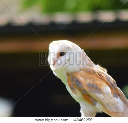 close up of a barn owl bird animal perched