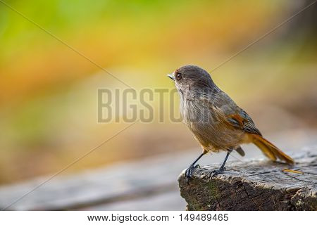 Siberian jay bird sitting and watching on the wooden table