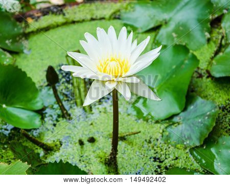 Single white water lily in pond with leaf.