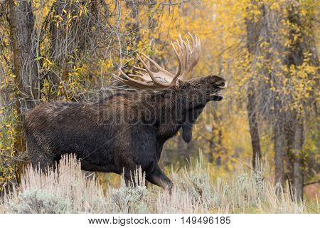 big shiras bull moose in rut in Wyoming in fall
