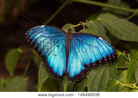 Portrait of tropical common morpho butterfly on the green leafs.