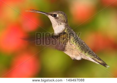 Female Ruby-throated Hummingbird (archilochus colubris) in flight with a colorful floral background