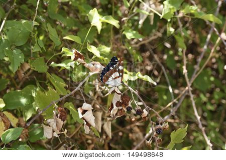A day butterfly (Hesperiidae-Nymphalidae) sitting on a berry bush.