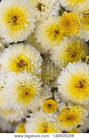 White and yellow chrysanthemum flowers in the garden. background