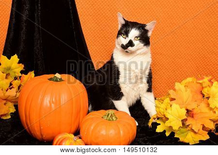 Tuxedo cat sitting among pumpkins and autumn leaves