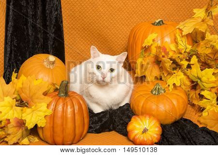 A white cat sits among several pumpkins and autumn leaves against an orange and black background.