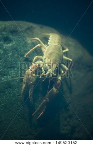 European crayfish (Astacus astacus), also known as the noble crayfish. Wildlife animal.