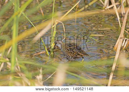 Sora in a Marshland on the hunt near Port Aransas Texas