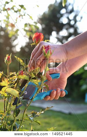 Care rose bushes. Gardener pruning shears cut shrubs roses