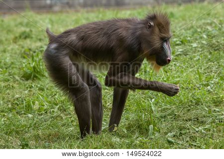 Mandrill (Mandrillus sphinx). Wildlife animal.