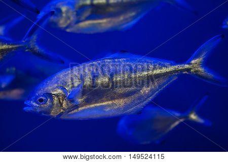 Atlantic horse mackerel (Trachurus trachurus).