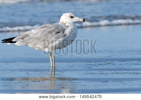 Close up of a lone seagull at the beach in the shallow surf of the ocean