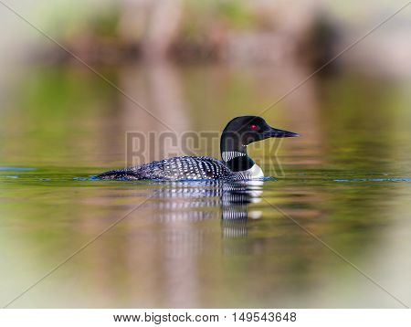 Common Loon breaching the water after having been in search of fish. This shot was taken on lac Creux northern Quebec Canada. Here you can see the incredible feather pattern these birds possess.