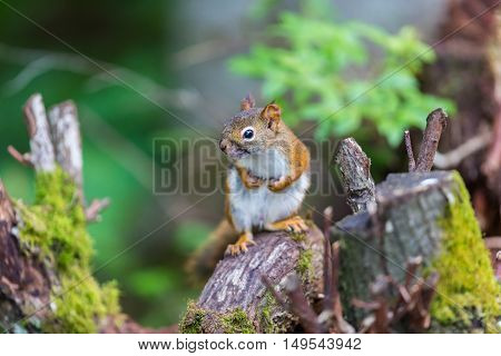 Cyril the Red Squirrel burying his nuts in a Boreal forest in northern Quebec. The squirrel or Eurasian red squirrel is a species of tree squirrel. The red squirrel is an arboreal, omnivorous rodent. poster