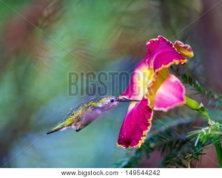 Female Ruby Throated Hummingbird inspecting a daylily for nectar. These birds visit north Quebec in the summer months where they breed and return south for winter in the beginning of September.