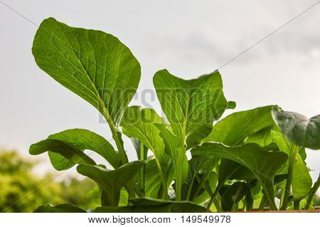 A very popular vegetable consumed plant grow faster. Harvesting of only 35-45 days it can be harvested. The vegetables are nutrient-dense. Used to cook soup with fried vegetable dip etc. can be grown all summer and planted vegetable gardens across the cou