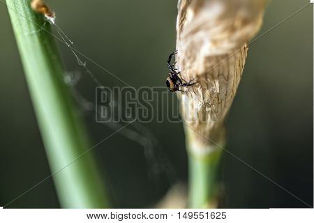 small black spider on a withered iris flower