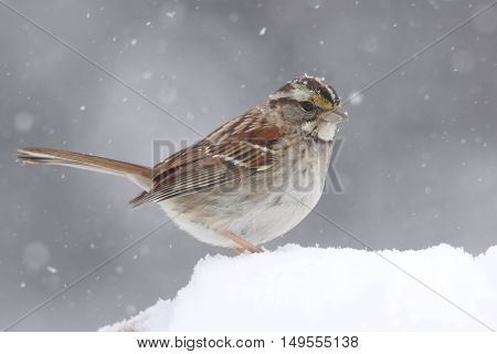 White-throated Sparrow (zonotrichia albicollis) perched in falling snow