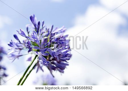 Agapanthus Flowers against a blue sky in the garden