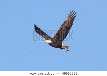 Adult Bald Eagle (haliaeetus leucocephalus) carrying a fish in flight against a blue sky