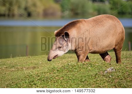 Tapir in a clearing, in the wild