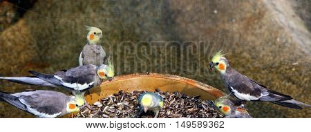 Group of Cockatiels birds eating in a park