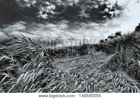 Black and white picture of grain and cloudy heaven