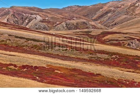 Colorful autumn landscape with red Dwarfish birches in the Altai mountain Siberia Russia