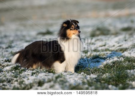 tricolor sheltie dog posing outdoors in winter