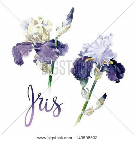 Hand drawn watercolor violet irises on white. Botanical flowers illustration.