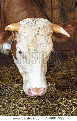 Close up of head of a cow on farm.