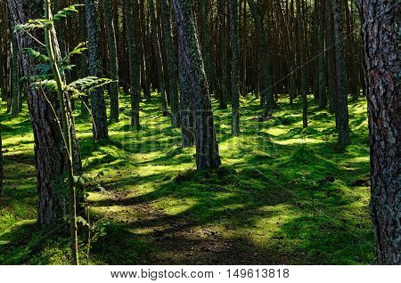 Northern Forest in Summer with Shadowy Trunks of Pine-Trees and Green Mossy Ground Lit by Sun Light