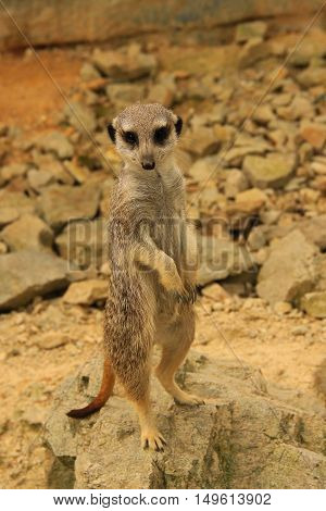 A wild suricata on guard at his burrow