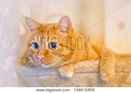 Sleepy ginger fat cat lazily lying in a hammock