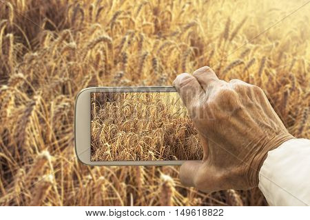 Old hand taking photography of wheat field on smartphone. Agricultural concept.