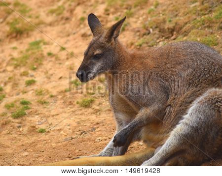 cute brown wallaby kangaroo animal sitting outdoors