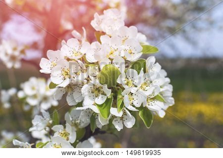 Blossoming of cherry flowers in spring time with green leaves.