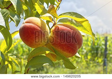 Ripe peaches grow on a branch among green leaves. Shallow depth of field.