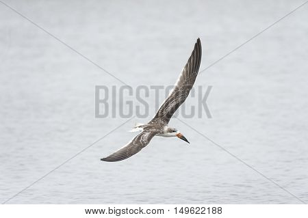 Banking juvenile Black Skimmer shows off its long wings