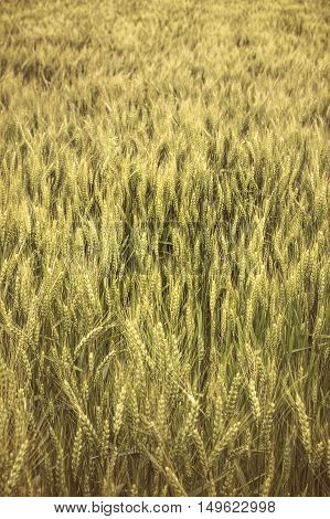 Field of rye. Agricultural concept. Selective focus.