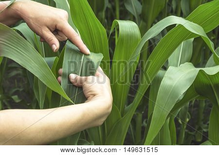 Examining corn leaf on field. Selective focus