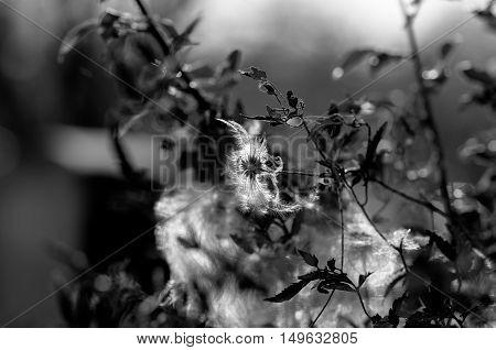 Black and white autumn shrub and fluff