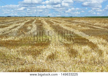 Golden field after harvesting and blue sky