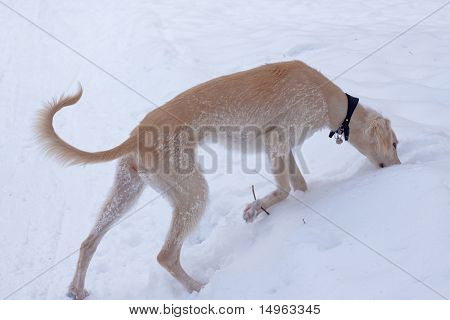 A hound pup smelling snow in a winter park poster