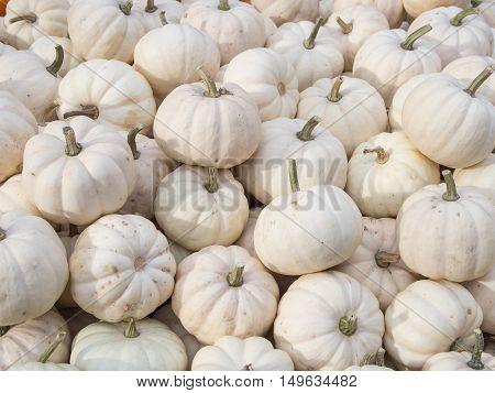 Harvest: Heap of Baby Boo Squash Cucurbita pepo L.