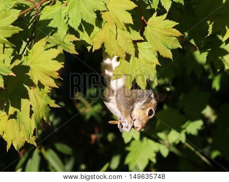 An Eastern Gray Squirrel eating Maple seeds
