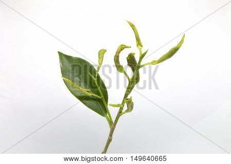 Leaf Curl Is A Plant Disease Characterized By Curling Of Leaves