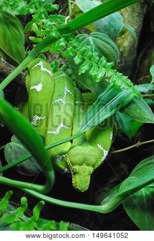 Emerald tree boa constrictor hanging coiled in a tree.