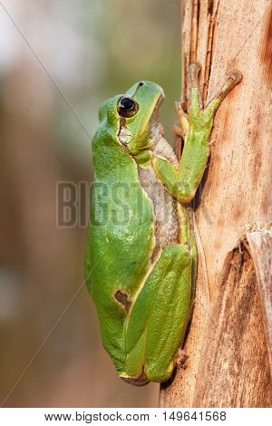 European Tree Frog On A Reed
